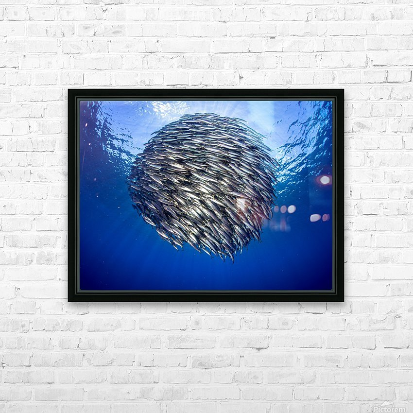 Bait ball 2 HD Sublimation Metal print with Decorating Float Frame (BOX)