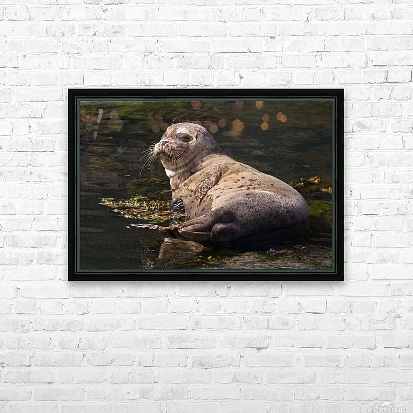 Sea lion posing HD Sublimation Metal print with Decorating Float Frame (BOX)