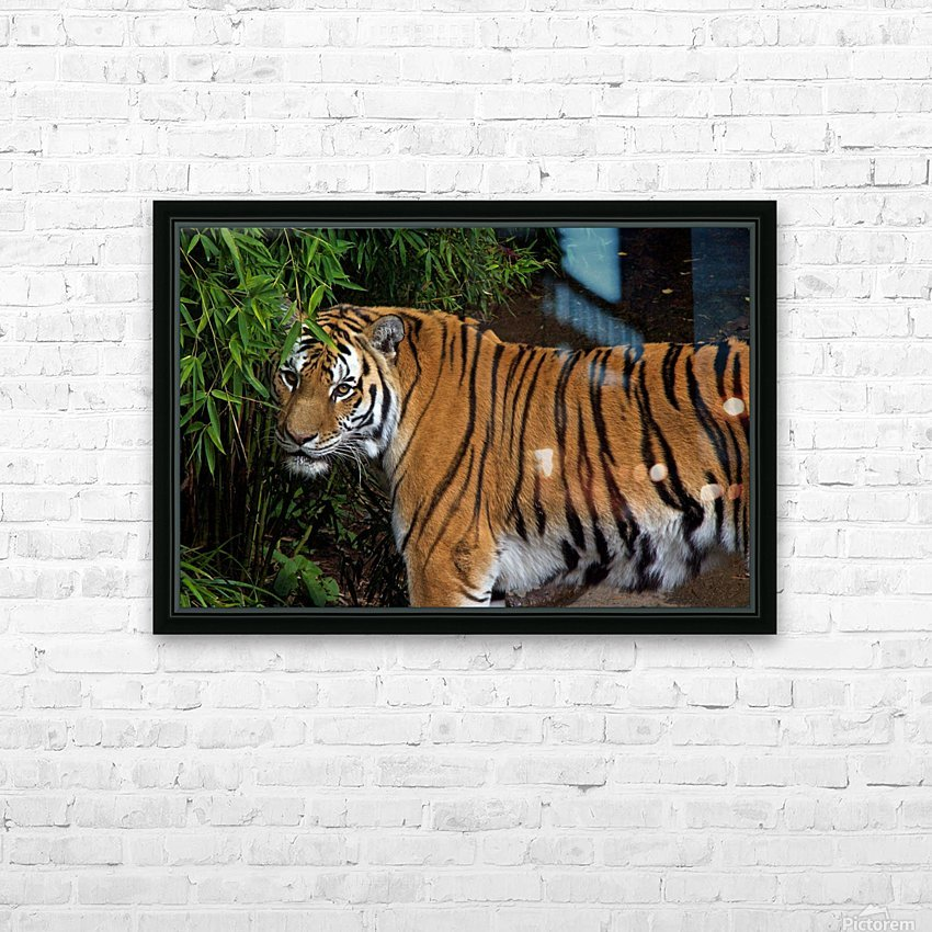 Female Tiger HD Sublimation Metal print with Decorating Float Frame (BOX)