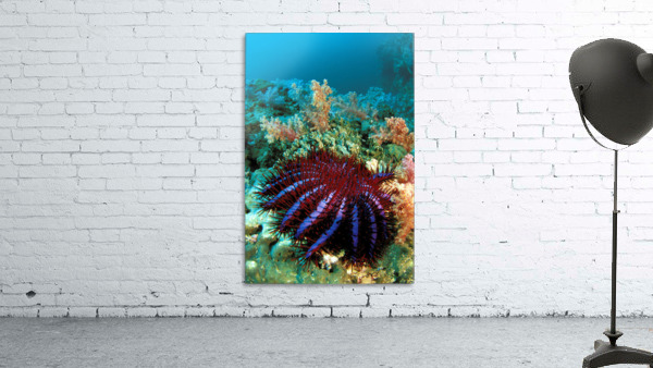 Thailand, Reef Scene With Crown-Of-Thorns Starfish (Acanthaster Planci).