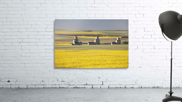 Three Old Wooden Grain Elevators At Sunrise With Flowering Canola Fields In The Foreground And Background; Mosleigh, Alberta, Canada
