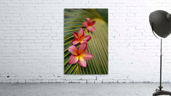 Close-Up Three Pink Plumeria Flowers On Coconut Palm Leaf Selective Focus