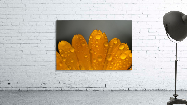 Close up of water droplets on orange flower petals; South Shields, Tyne and Wear, England