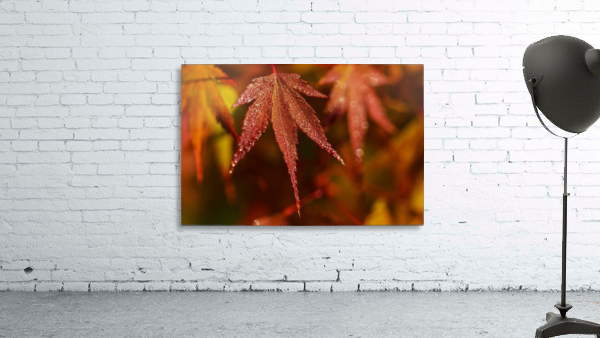 Japanese Maple (Acer palmatum) turning red in the autumn; Astoria, Oregon, United States of America