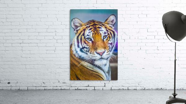 Portrait of Bengal Tiger (panthera tigris tigris) endangered species, captive; Chippewa Falls, Wisconsin, United States of America