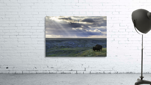 A lone bison (bison bison) grazes on the buttes of Grasslands National Park; Saskatchewan, Canada