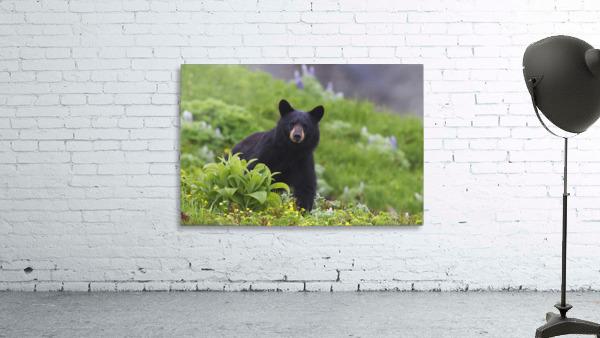Black Bear Standing In Alpine Vegetation, Harding Icefield Trail, Kenai Fjords National Park, Near Seward, Southcentral Alaska, Summer