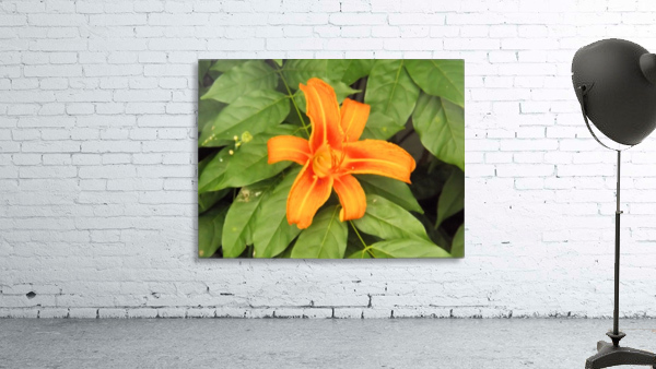 Orange Lilly 1