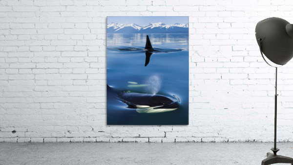 Composite: Close Up Of Orca Whales As They Surface In Lynn Canal With The Coast Range Mountains In The Background, Inside Passage, Southeast Alaska