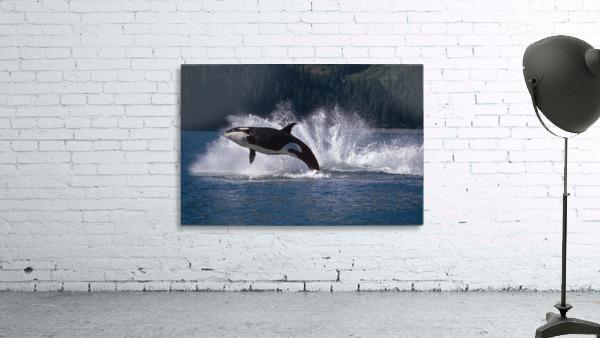 Double Breaching Orcas Bainbridge Passage Prince William Sound Alaska Summer Southcentral