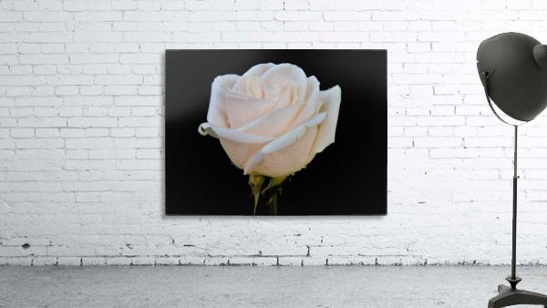 Calming rose