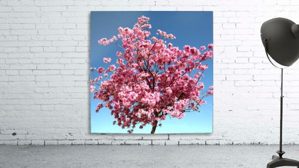 Cherry Blossom on Blue
