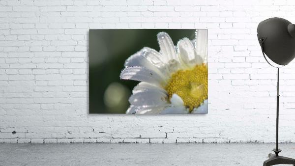 Blancheur de la rosee