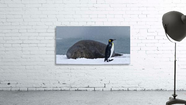 King Penguin walking nest to Elephant Seal