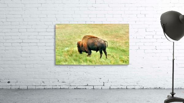 Lone Buffalo Custer State Park