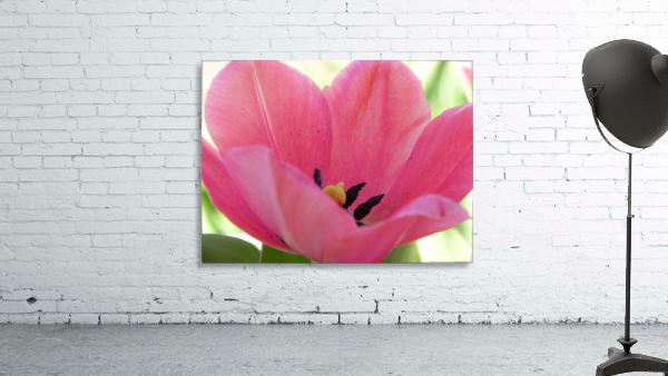 Beautiful Pink Tulip Photograph