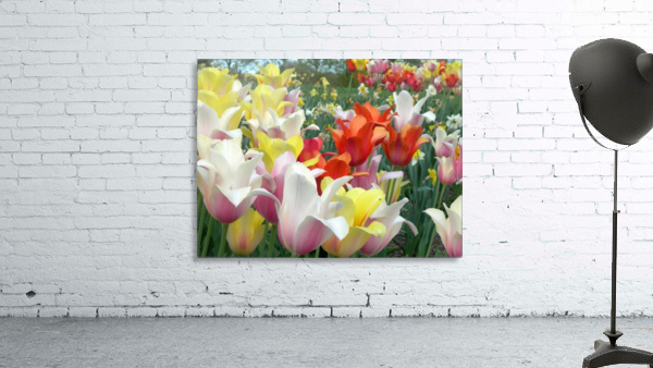 Beautiful Tulip Garden Photograph