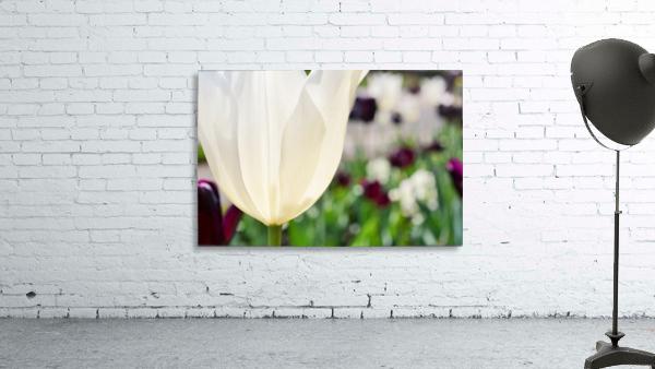 White Tulip Photograph