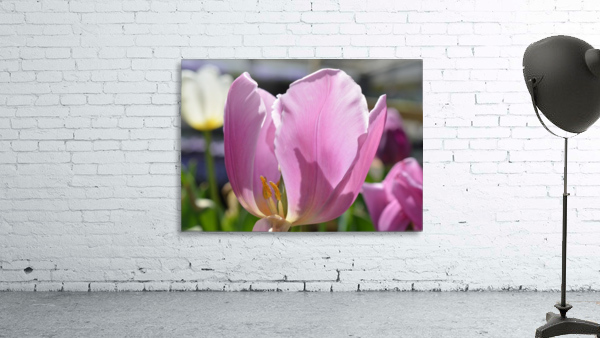 Purple Tulip Photograph