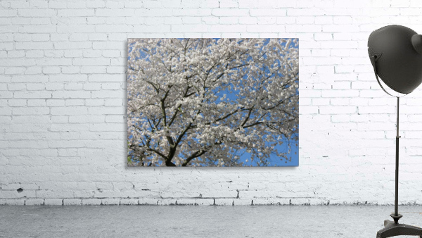 White Spring Blossoms Photograph
