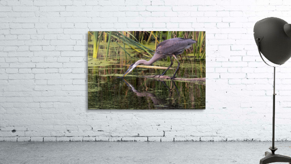 Great Blue Heron taking a Sip