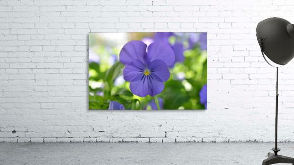 Blue Pansy Photograph