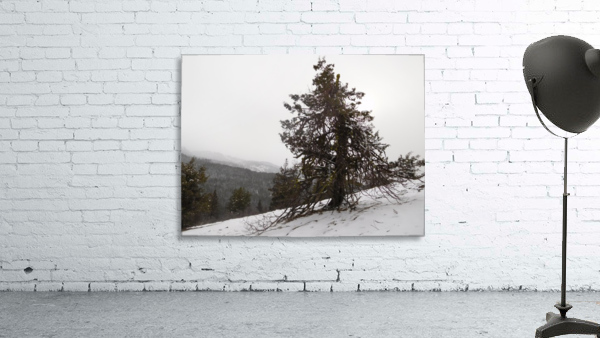Snowy Mountain Juniper