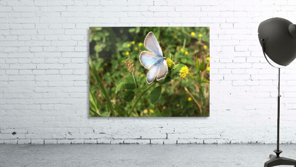 Blue Butterfly on Clover