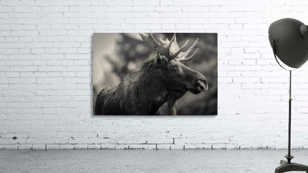 Moose Portrait - 2