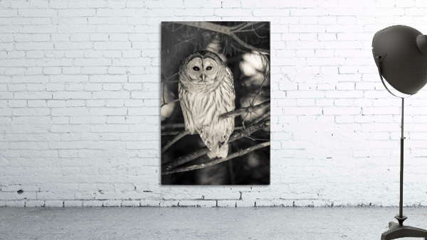 Spotted Owl - 2