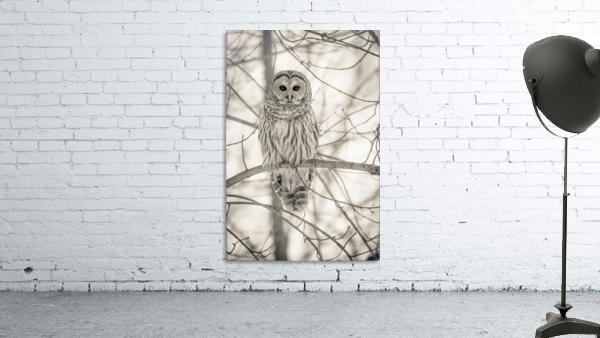 Spotted Owl - 1