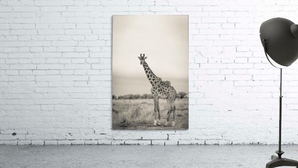 Majestic Giraffe by www.jadupontphoto.com