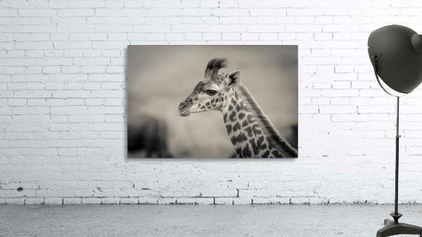 Girafe Calve