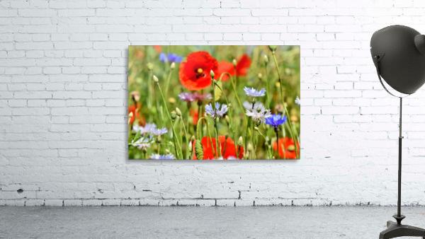alpine cornflower, cornflowers, flowers, centaurea montana, field of flowers, poppy, composites, flora, wild plant, plant, flower garden, wild flower, garden, flower meadow, petal, meadow, nature,