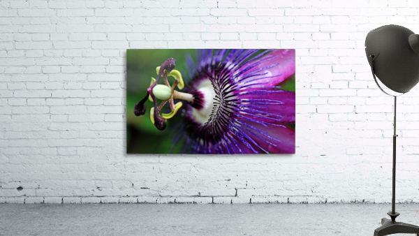 Passion Flower In Purple