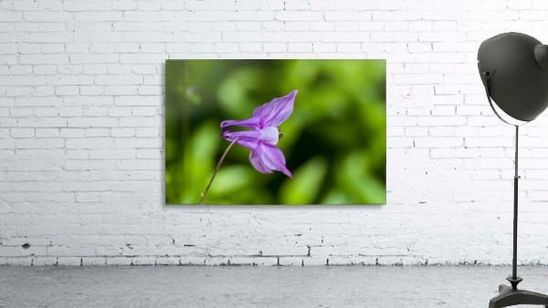 Purple Columbine 2