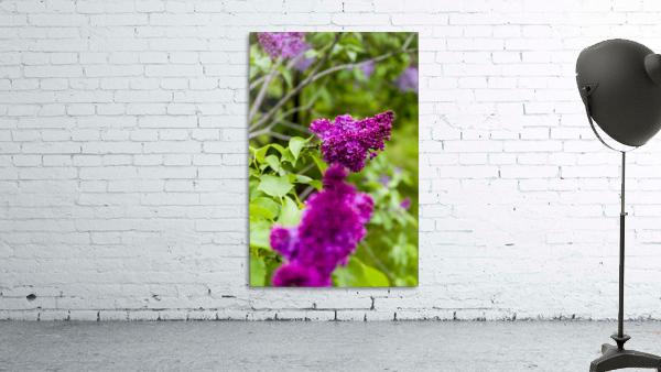 Purple Lilac Blossoms 2