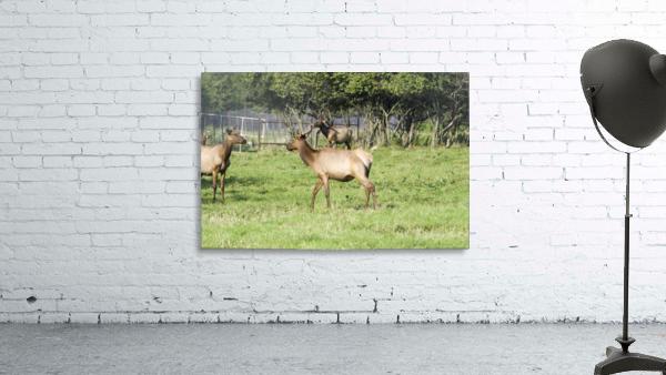 Elk Red Tailed Deer or Wapiti 4