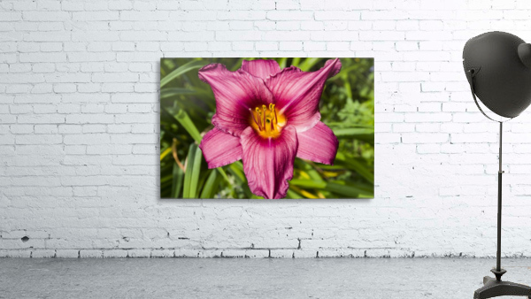 Purple Stella Doro Day Lily Flowers 2