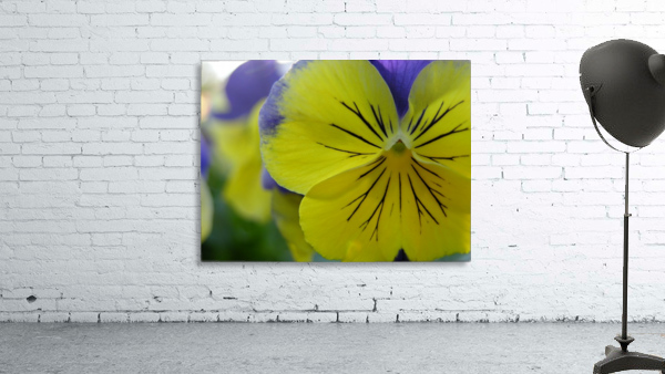 Yellow Pansy Photograph
