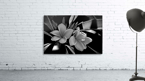 Plumeria In Black And White