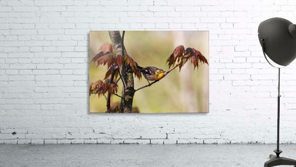 Blackburnian Warbler In Maple Tree