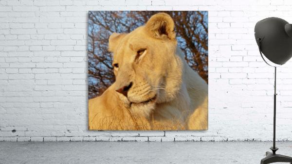 White Lioness Sunset 593