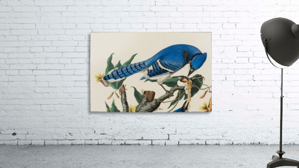 Blue Jay familly