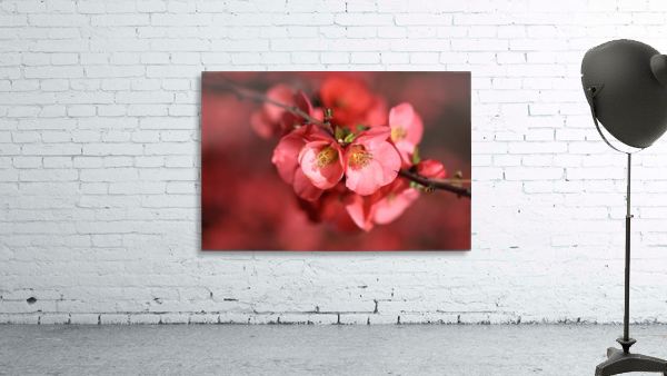 Flowering Quince Of Spring