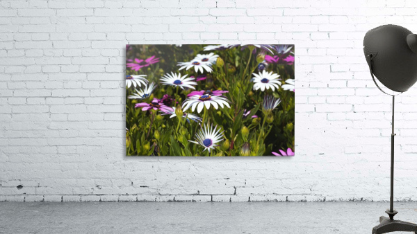 Daisies Of White And Pink