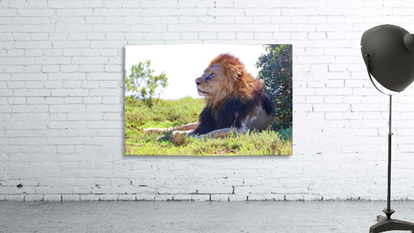 Lion Male in Addo 9240