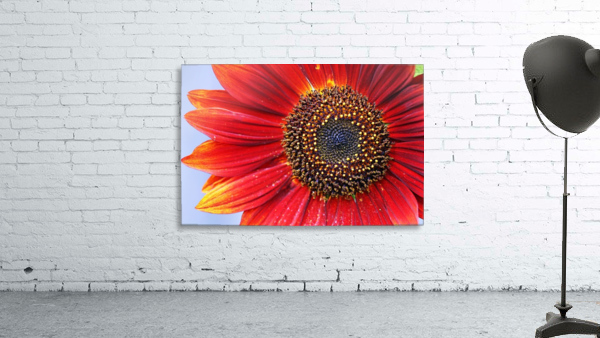 Ruby Red Sunflower