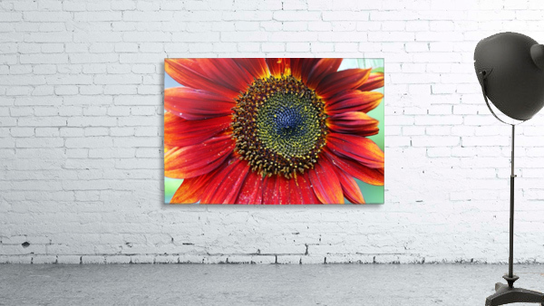 Red Sunflower With Yellow Tips