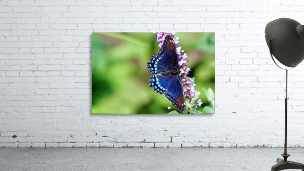 Red Spotted Purple Beauty